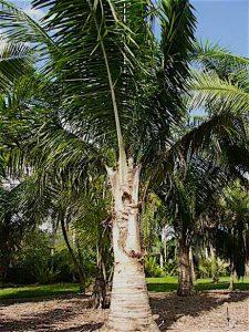 Kowos Palm- Kruse